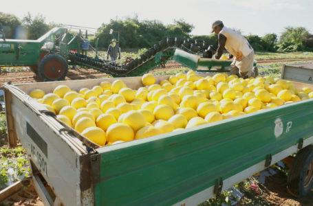 Negociações para exportar melão potiguar para a China retornam em agosto