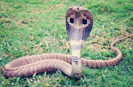 Ministério Público denuncia quatro pessoas no caso da cobra naja